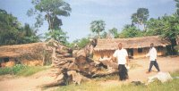 The village head of Okoroinyong, Chief Festus Reuben Nteile, grandson of the founder of the village, at the trunk of the tallen sacred okwe (iroko) tree, which stood in the village square since its first settlement