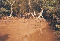 Mangrove trees in a channel of Okoroinyong Creek. The white bird, ata, feeding on the exposed in the low tide muddy bank.